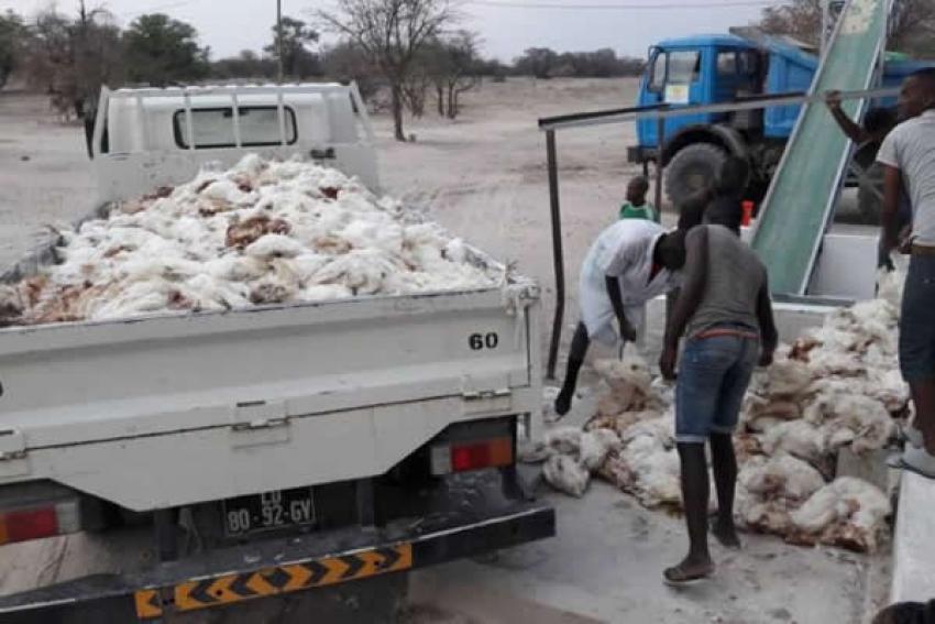 Seca no Cunene: Cerca de 16.000 galinhas mortas e 6.500 em situação de alto risco